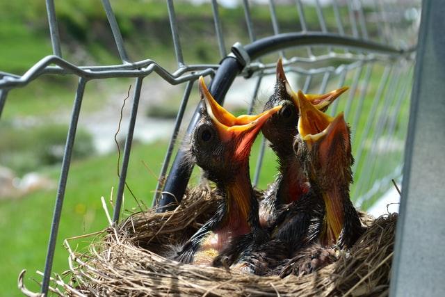 餌を欲しがる小鳥の絵